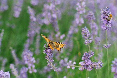 Butterfly urticaria sits on a lavender flower in a field. Reklamní fotografie