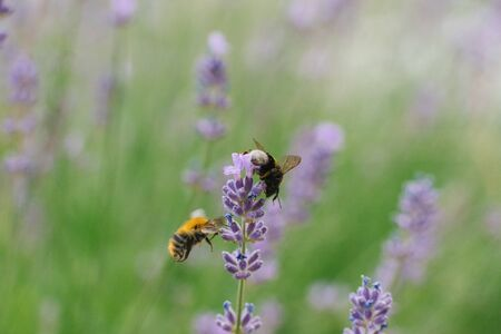 Two bees fly near a lavender flower in a field.