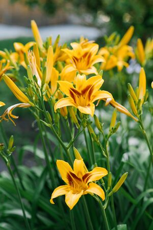 Beautiful yellow daylily flowers in the garden in summer.