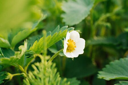 Close-up of a strawberry flower on a bed in a farm garden blooms in summer. Selective focus