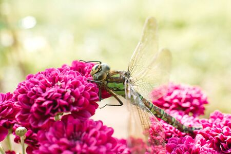 A beautiful green dragonfly sits on the bright pink chrysanthemum flowers in the garden. An insect in its natural habitat