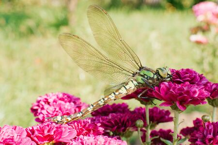 A beautiful large green dragonfly on bright purple chrysanthemum flowers on a blurred grass background. Dragonfly on a flower in macro view.