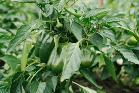 organic unripe peppers grow in the garden without fertilizers. selective focus. farmers planting Reklamní fotografie