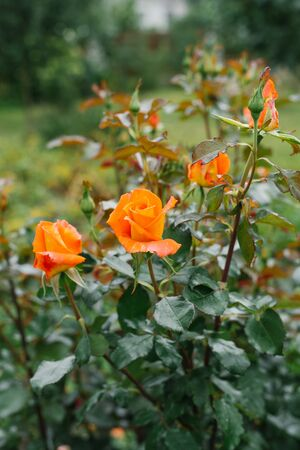 flower background of orange flowers marigolds in the garden in summer