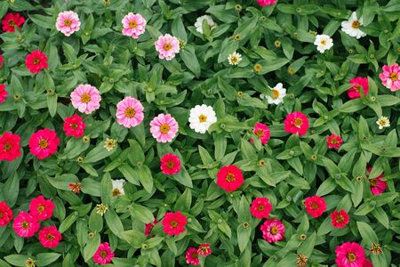 Flower beautiful background of white and pink zinnias in the summer garden. The view from the top Reklamní fotografie