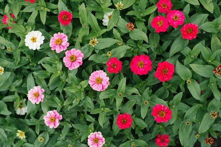 Beautiful pink and crimson zinnia in the summer garden. The view from the top. Selective focus