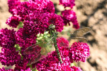 A green dragonfly sits on purple chrysanthemum flowers in the garden Reklamní fotografie