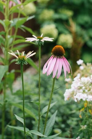 Beautiful pink and purple Echinacea flower and white daisies bloom in the garden in summer. Selective focus Reklamní fotografie