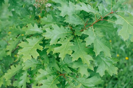 Floral background of green oak leaves Reklamní fotografie