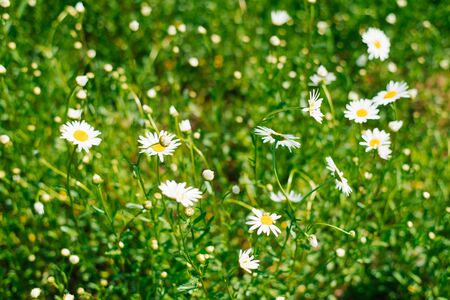 Field of daisies. White Daisy flowers bloom in the meadow or in the garden in summer. Selective focus