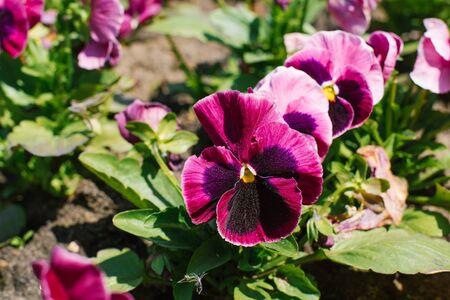 purple flowers pansies bloom in a flower bed in the garden in summer on a Sunny day