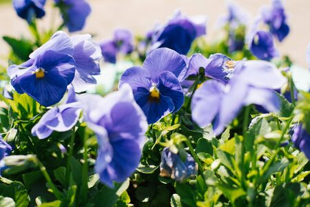 blue pansies flowers bloom on a flower bed in the garden in summer on a Sunny day. Selective focus