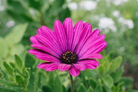 Beautiful flowers Beautiful purple flower osteospermum grow in the garden in summer. Selective focus. Reklamní fotografie