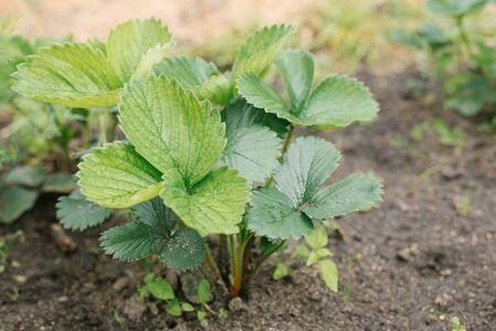 farm planting of organic strawberries without fertilizers. strawberry leaves,. selective focus