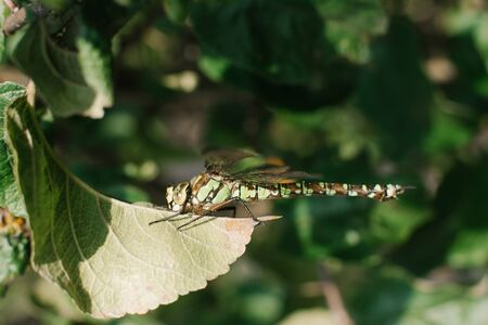 a dragonfly sits on a leaf of an Apple tree in the garden. Natural photo of a dragonfly.
