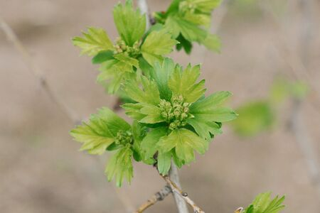 Young hawthorn leaves on a branch in the garden in spring