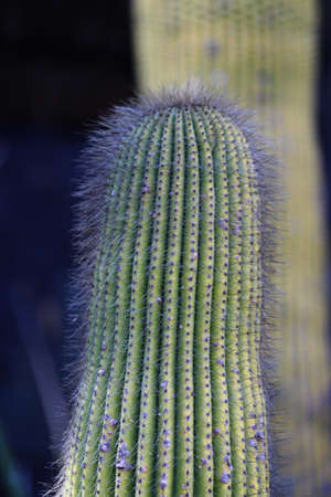 Closeup of single cactus with long fine thorns