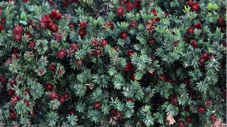 Red Dwarf Bottlebrush hedging plant. Callistemon citrinus 写真素材