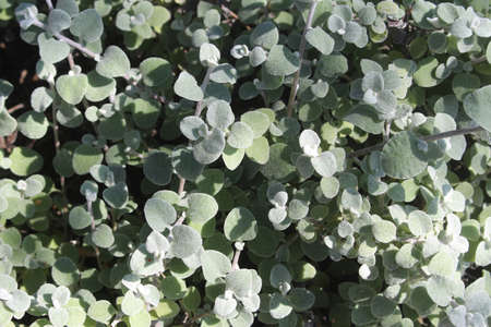 Licorice plant with small silver green leaves growing in a garden. Helichrysum petiolare