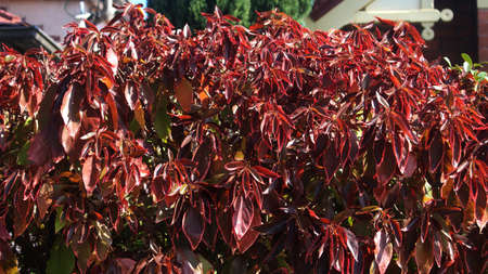 Beefsteak plant with large red foliage growing in a garden. Acalypha wilkesiana. Stok Fotoğraf