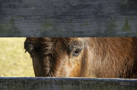 Mule looking through fence