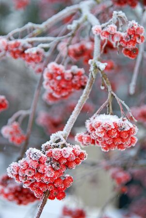 Frosty Ashberries Imagens - 8497182