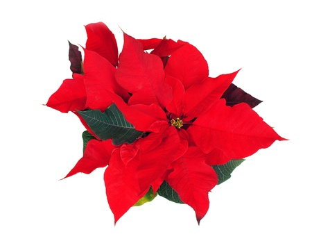 poinsettia: Red Poinsettia