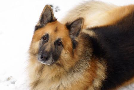 german shepherd dog: German Shepherd  Dog Stock Photo
