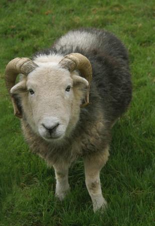 ram sheep: Herdwick. Ram. Sheep