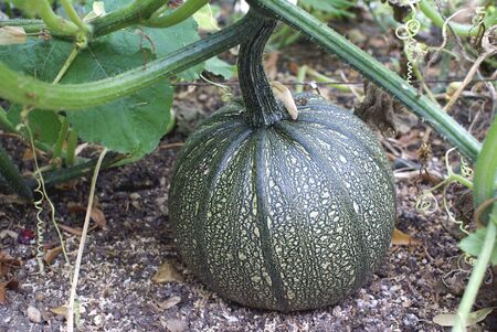 marrow squash: zucchini. marrow. courgette. squash growing in a land Stock Photo