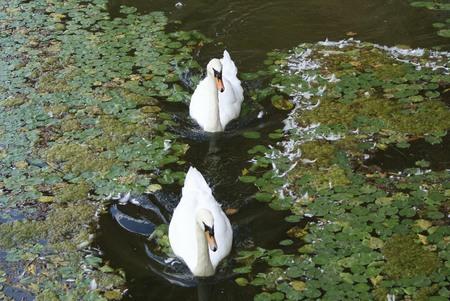 swans: white swans