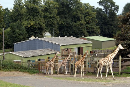 places of interest: giraffes in England