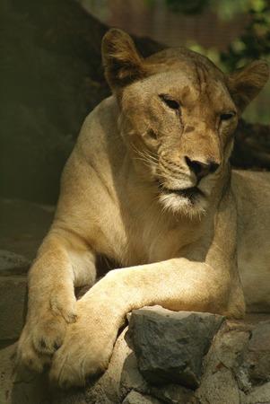 lioness: Lioness, Dusit Zoo, Bangkok, Thailand, Asia Stock Photo