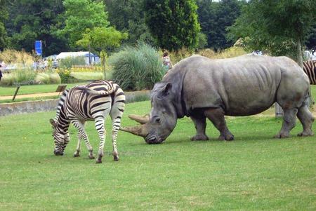 place of interest: rhino. rhinoceros and a zebra, Safari park, England