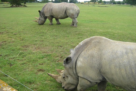 places of interest: rhino. rhinoceros, safari park, England Stock Photo