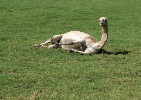 laying down: camel laying down in a field