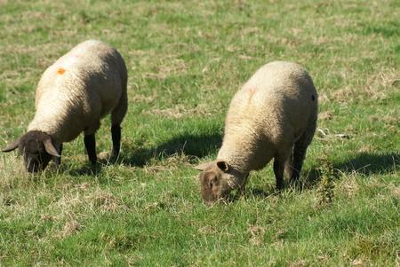 farmland: sheep grazing in a farmland