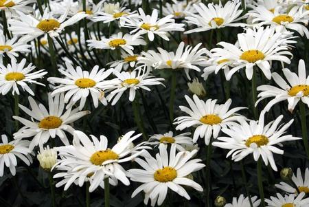 leucanthemum: white daisies