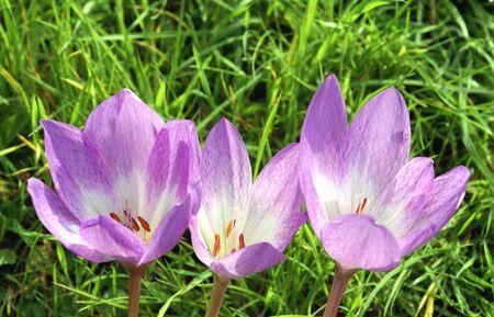 crocus: crocus flowers Stock Photo