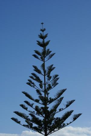shurb: cypress tree