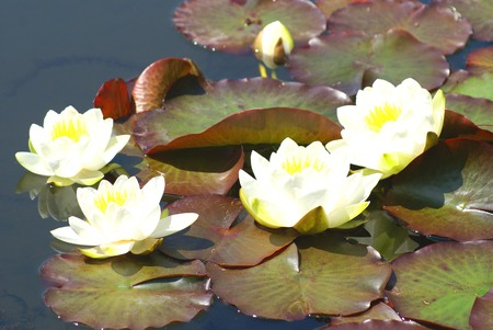 water lilies: white water lilies