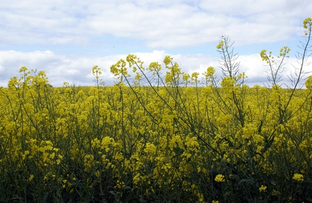 growing plant: rapeseed plants growing in an agricultural landscape