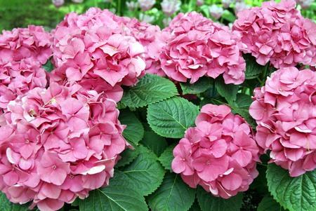 hydrangeaceae: Pink Hydrangea flowers