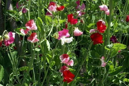 sweet pea flower: Sweet pea flower bed