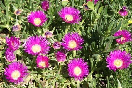 edulis: Carpobrotus edulis flowers Stock Photo