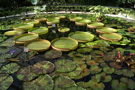 water lilies: water lilies growing in a greenhouse, London, England