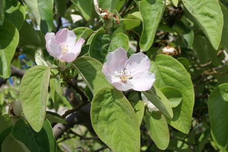 membrillo: membrillo tropical flores de �rboles frutales