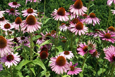 coneflowers: Coneflowers. Echinacea flowers. Echinacea purpurea Stock Photo
