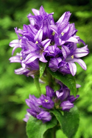 bellflower: Campanula. bellflower Stock Photo