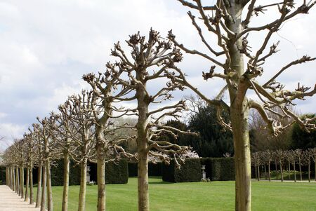 plane trees pruned for the summer. Winter trees